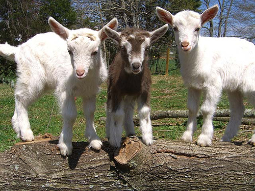 blog pic- baby goats